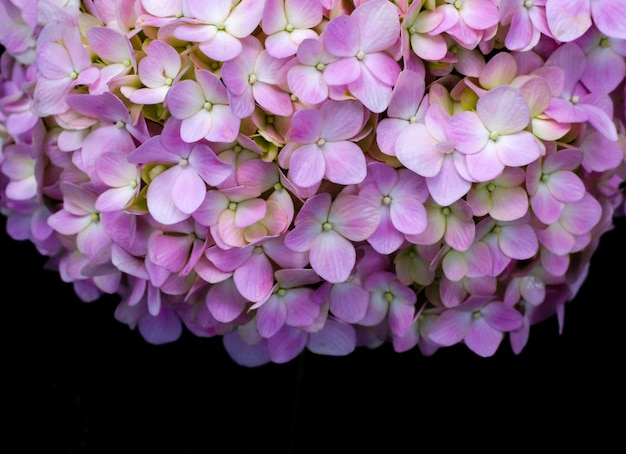 Bush of pink hydrangea flowers on black background with space for text.