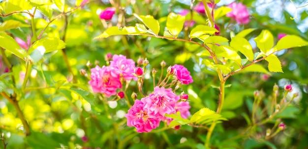 Bush of pink roses background