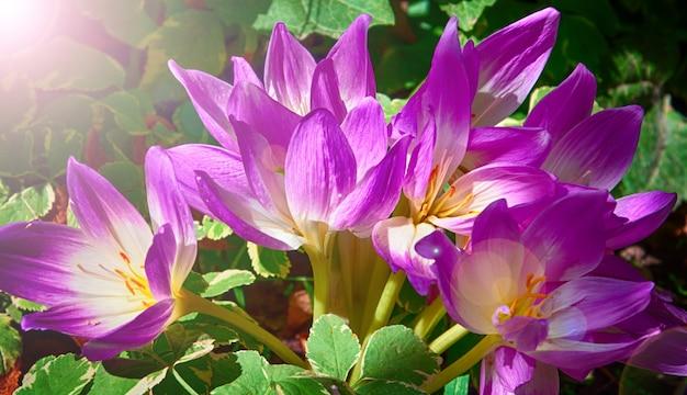 Bush of purple crocuses in the sun