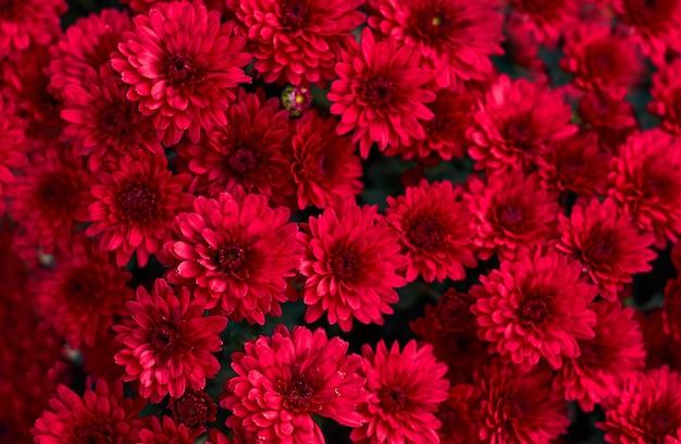 庭の茂みの赤いアスターピンクの花。自然の花の背景。