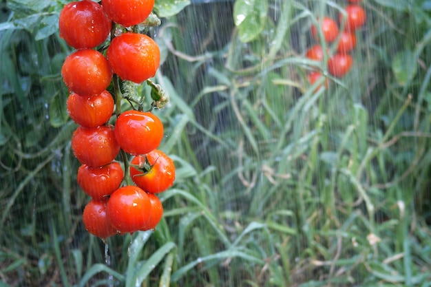 Bush of red tomatoes under rain jets, hanging on a branch in garden or on field among green vegetation.
