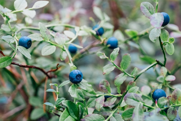Bush of ripe bilberry in the summer close up