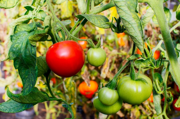 Bush of ripe red tomato growing in open ground
