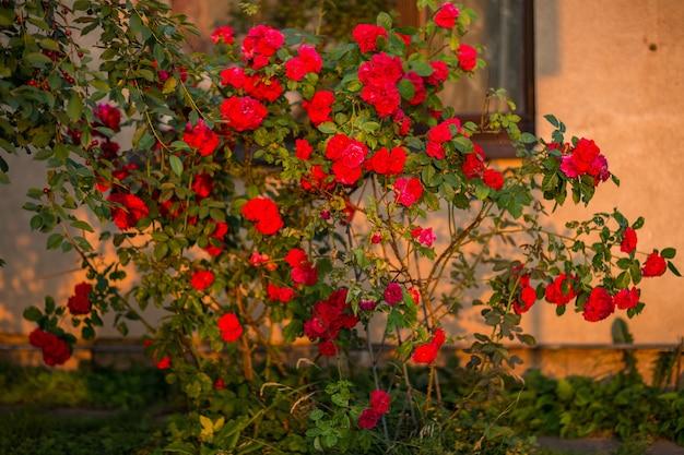 Кустовая роза цветет летом в саду