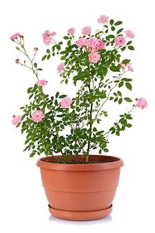 Кустовая роза в цветочном горшке, изолированном на белой поверхности