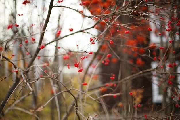 秋の曇りの天気で赤いガマズミの果実と茂み