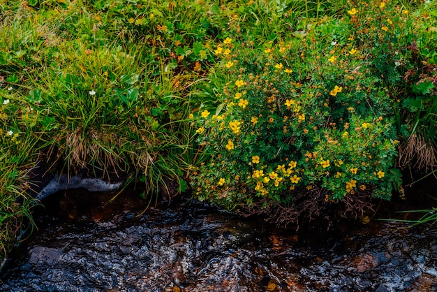 Буш с цветущими желтыми цветами silverweed возле родниковой воды крупным планом. лекарственные растения растут возле горного ручья. целебное растение у весеннего ручья. ручей с богатой лекарственной растительностью горной местности