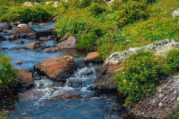 Буш с цветущими желтыми цветками silverweed возле родниковой воды с камнями крупным планом. лекарственные растения растут возле горного ручья. целебное растение у весеннего ручья. пейзаж с ручьем возле богатой флоры.