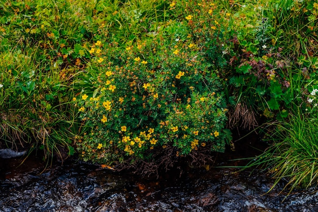 Bush with blooming yellow flowers of silverweed near spring water close-up.