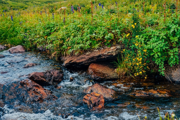 Bush with blooming yellow flowers of silverweed near spring water with stones
