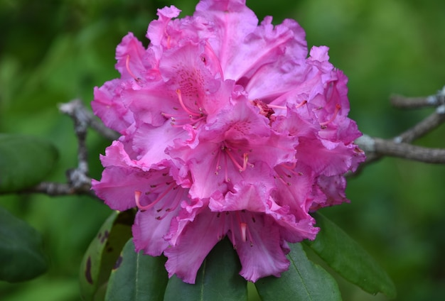 ピンクのシャクナゲの花が咲く茂み。