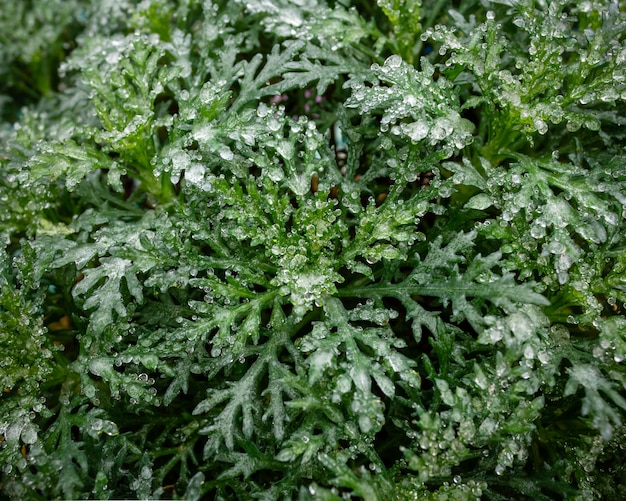 Bush with green leaves is covered with a layer of frozen ice and snow. winter natural texture, close-up