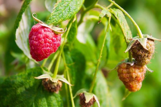 Куст с малиной - спелые и созревающие ягоды на ветке с зеленой листвой
