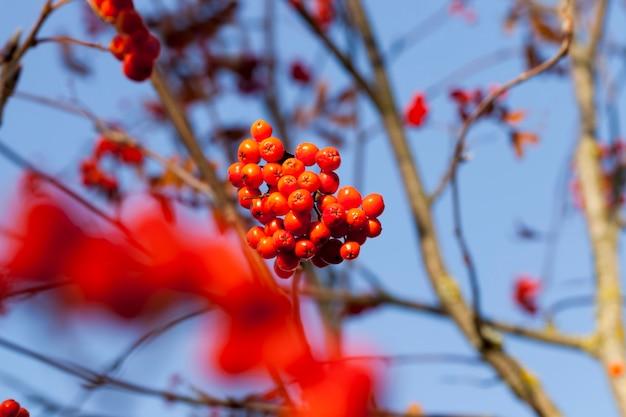 Куст с ягодами красной рябины