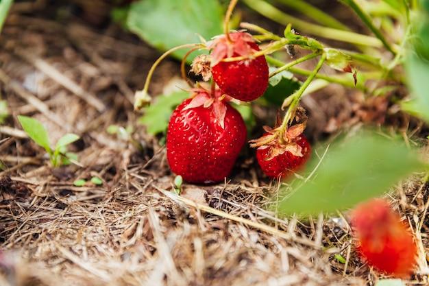 夏の庭のベッドで熟した赤い果実のイチゴと茂み。農場でのベリーの自然な成長