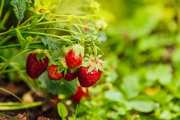 夏の庭のベッドで熟した赤い果実イチゴと茂み