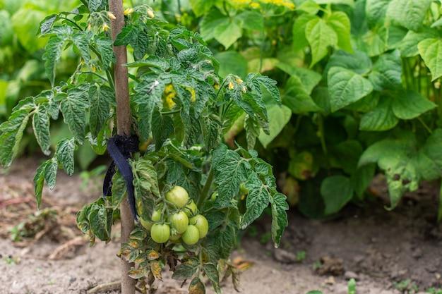 Куст с молодым зеленым помидором на грядке, созревание помидора в саду, экологически чистые овощи, эко продукты