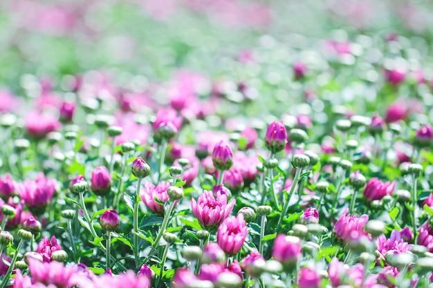 Bushes of burgundy chrysanthemums garden or park outdoor.