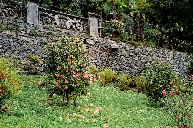Bushes of camellia flowers with fallen petals on the grass near a stone fence against a background of trees
