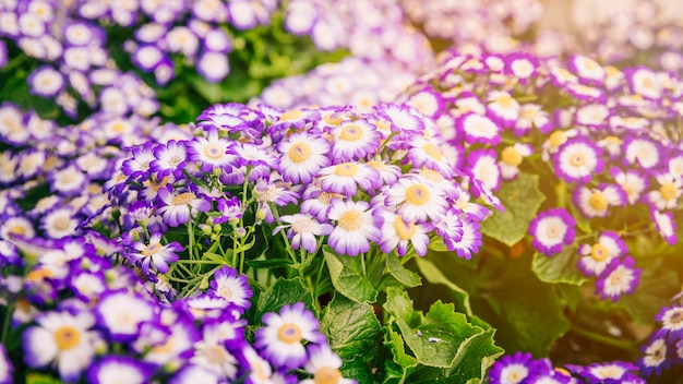 Bushes of fresh purple cineraria flowers in the botanical garden