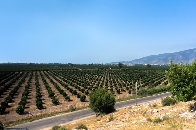 Bushes growing in a row, agriculture in turkey