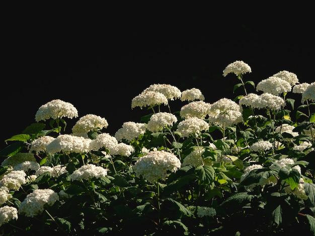 庭の暗い背景に白い円錐形のアジサイの茂み。