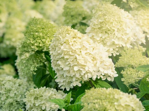 庭の白い円錐形のアジサイの茂みをクローズアップ