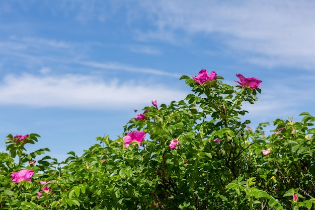 Кусты цветущего шиповника и голубое небо