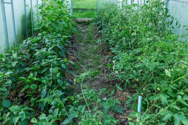 温室内のきゅうりとトマトの茂み。新しい収穫。
