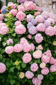 Кусты розовых гортензий в зеленых листьях в саду у каменной стены.