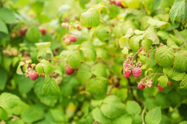 잘 익은 나무 딸기의 덤불