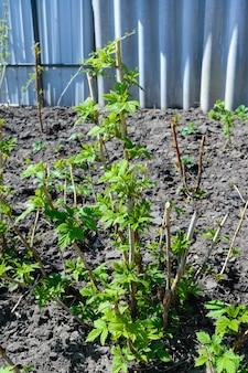 Кусты молодой малины в саду. выборочный фокус.