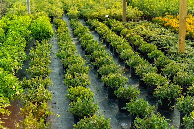Bushes in pots and shrubs in pots for landscaping