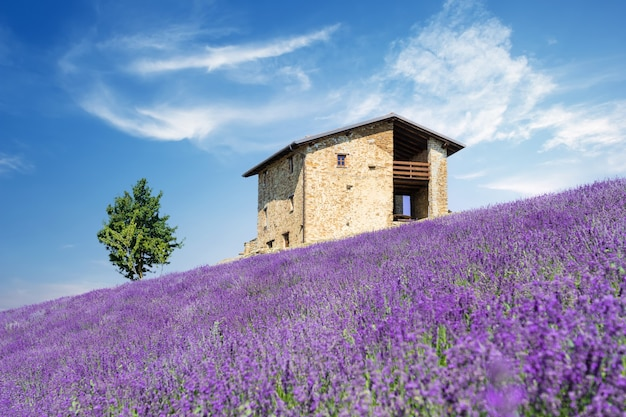 Bushes of purple lavender flowers in summer.