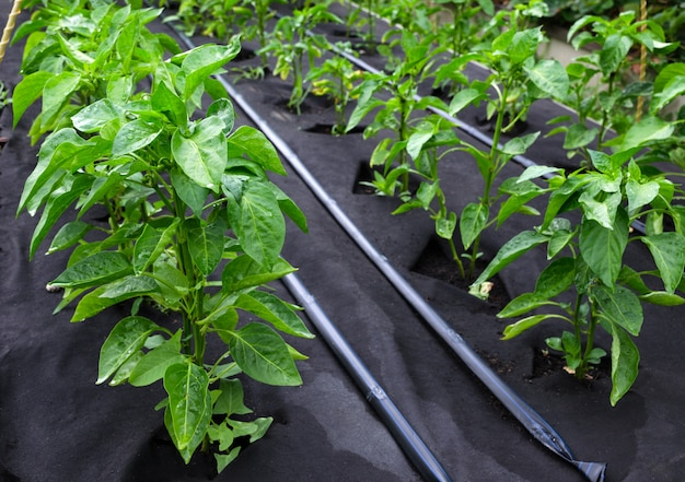 Bushes of sweet pepper, grown on a protective polypropylene spunbond nonwoven.