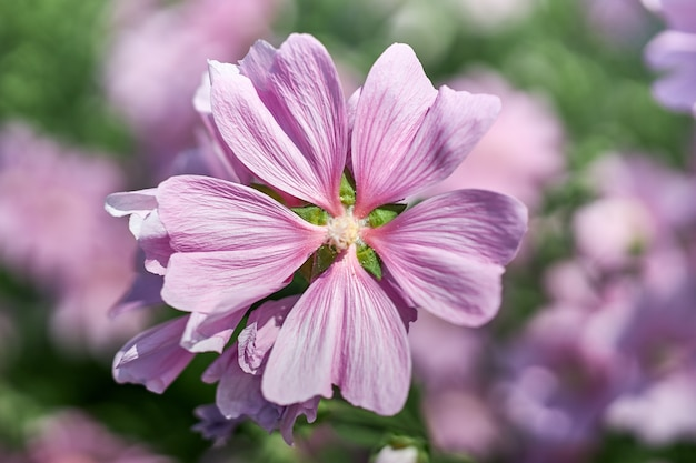 家の近くに美しいピンクの花が咲く茂み。ガーデニングと花卉園芸