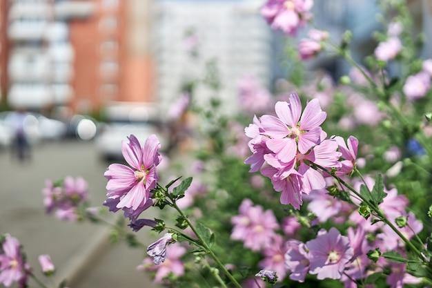 집 근처에 아름다운 분홍색 꽃이있는 관목. 원예 및 화초 재배