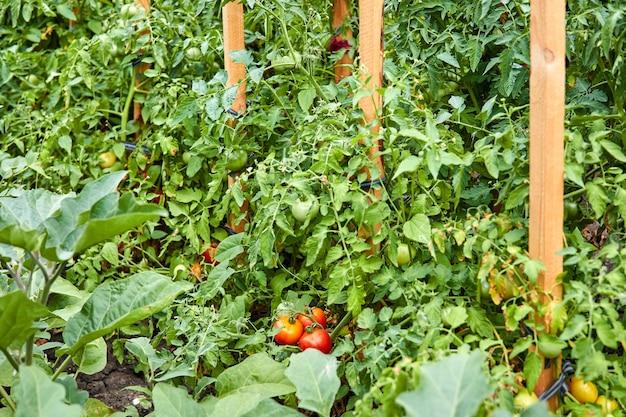 정원에 빨간색과 녹색 토마토가 있는 덤불