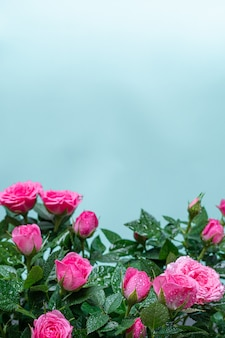 Bushy beautiful pale pink rose with dew drops on a light blue background. close up.