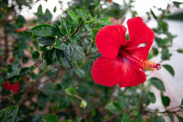 A bushy red flower with a protruding center