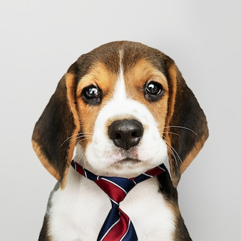 Business beagle puppy wearing tie