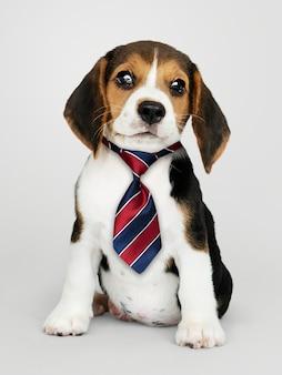 Business beagle puppy wearing tie