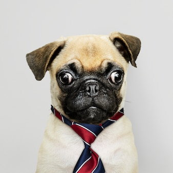 Business pug puppy wearing tie