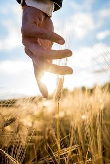 Businessman or environmentalist reaching down with his hand gently touching an ear of ripe golden wheat