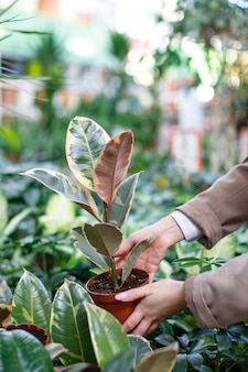 Businesswoman choosing potted ficus elastica for her home in a greenhouse or flower store