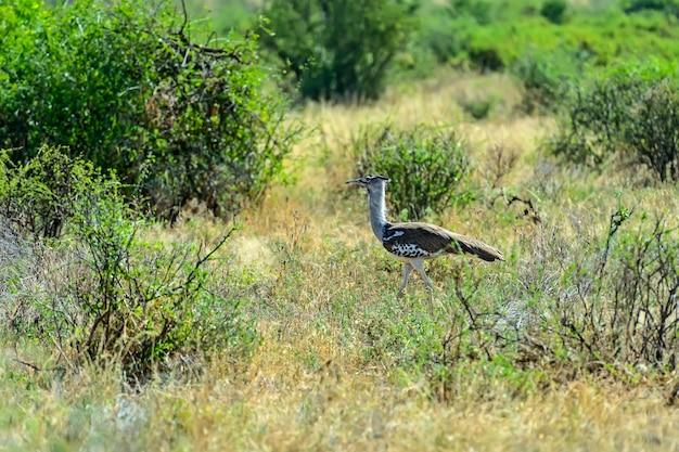 Bustard in the african savannah in kenya