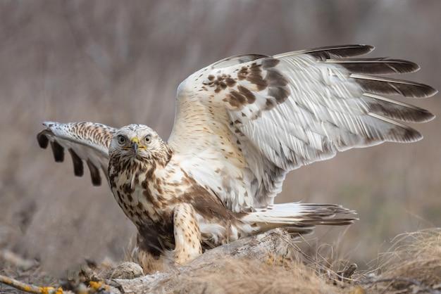 Грубый канюк, buteo lagopus, стоит на земле с распростертыми крыльями