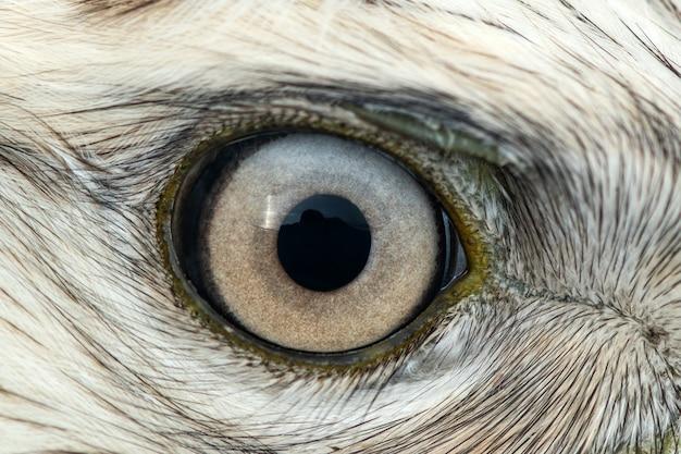 ノスリの目のクローズアップ、男性の足の大まかなノスリ、buteo lagopus