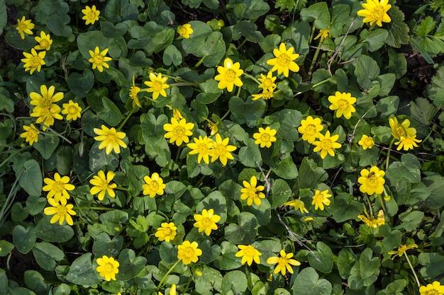 春に咲くキンポウゲの黄色い花
