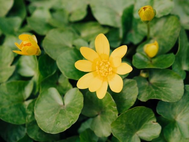 緑の日当たりの良いぼやけた背景にキンポウゲの黄色い花。春のメッセンジャー。自分の葉に対して明るい黄色のヒメリュウキンカ。ラナンキュラスフィカリア。フィカリアグランディフローラ。ソフトフォーカス